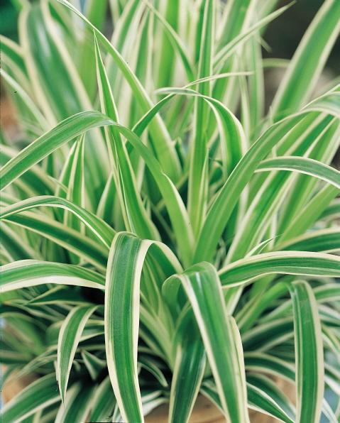 plant purify house