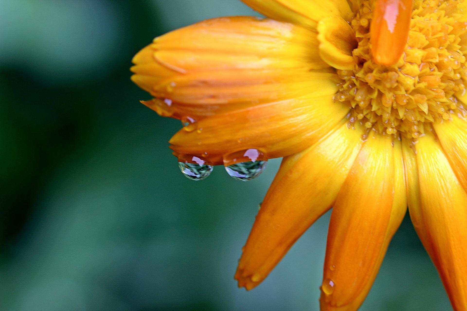 marigold-1568620_1920