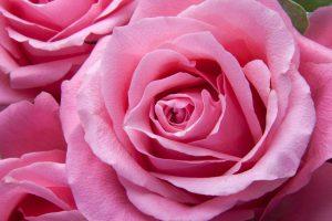 roses-pink-family-rose-family-65619
