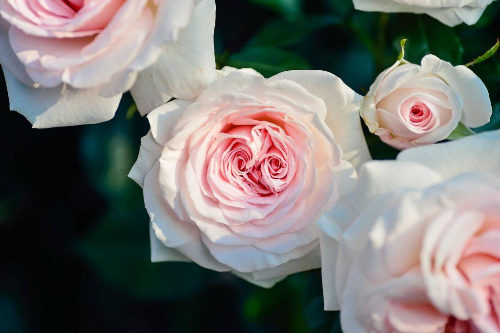 rose oil australia