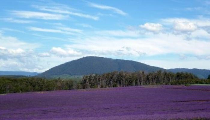 Lavender Farm Bridestow Tasmania