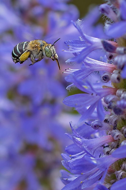 Blue Banded Bee 'Busy Worker' Art Print