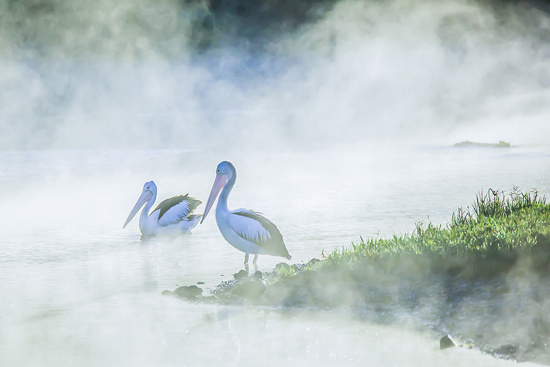 Australian Pelicans 'Pelicans in the Fog' Art Print