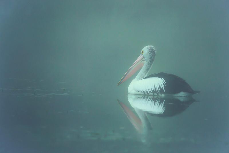 Australian Pelican 'Misty Pelican' Art Print