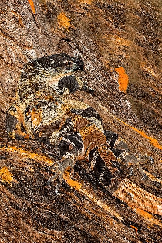 Australian Lace Monitor 'Camouflage' Art Print
