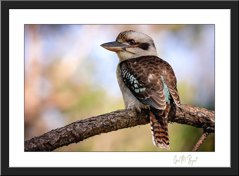 Laughing Kookaburra 'Loving Nature' Framed Art Print