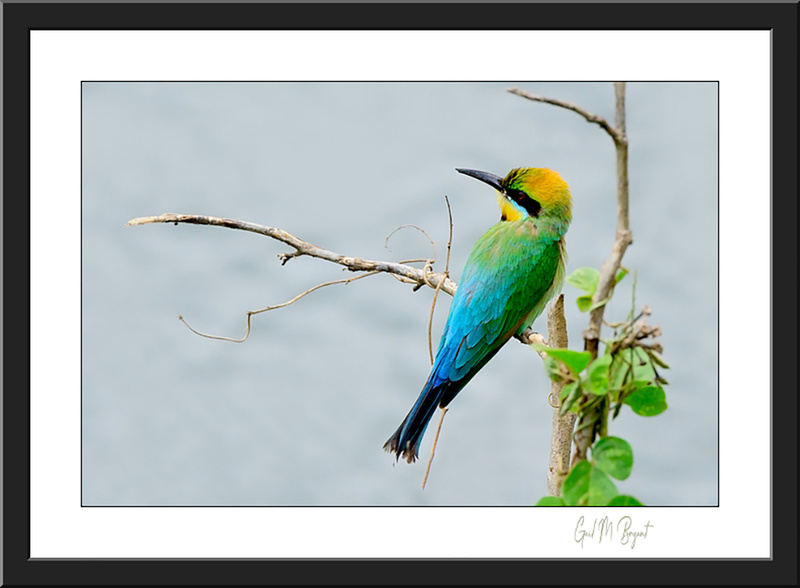Rainbow Bee-eater 'Patiently Waiting' Framed Art Print