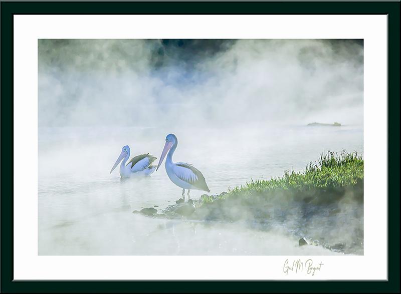 Australian Pelicans 'Pelicans in the Fog' Framed Art Print