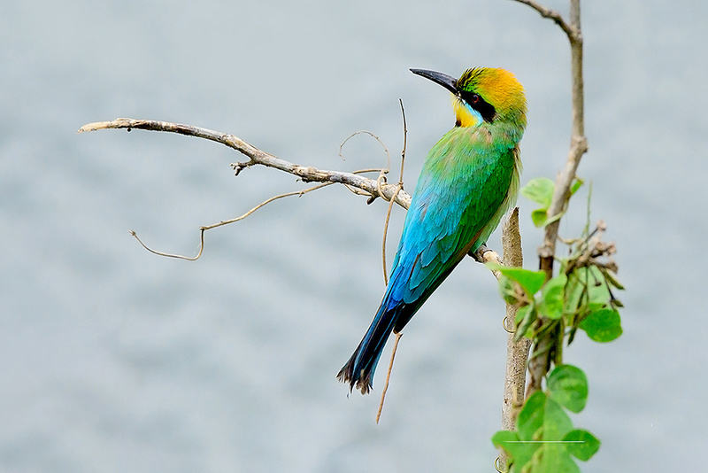 Rainbow Bee-eater 'Patiently Waiting' Art Print