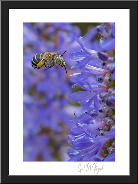 Blue Banded Bee 'Busy Worker' Framed Art Print
