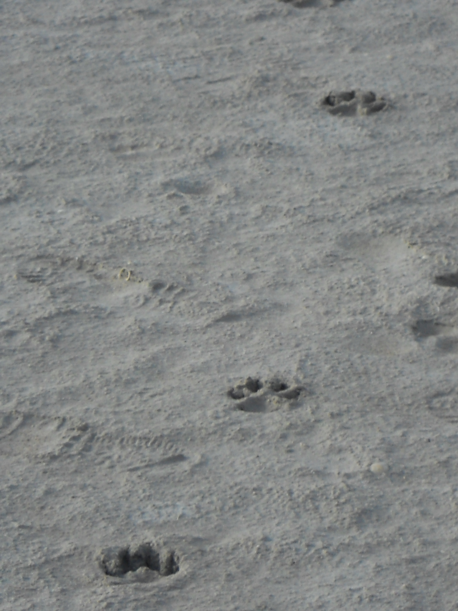 Thylacine trackway, South Australia, 2015.