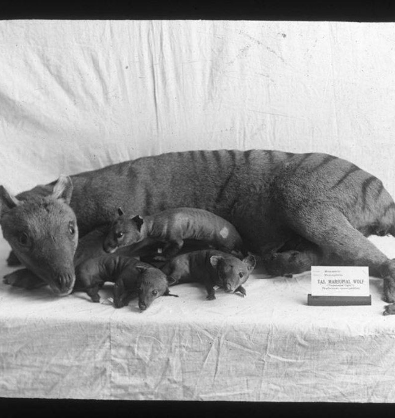 Mother Thylacine with Joeys