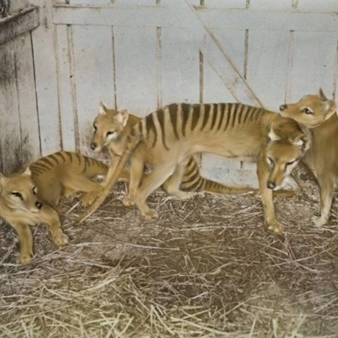 Mother Thylacine with Joeys in captivity