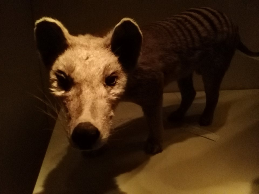 Thylacine taxidermy