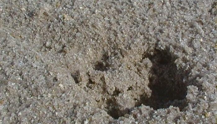 Thylacine foot print