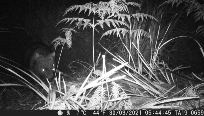 Wombat Tasmania