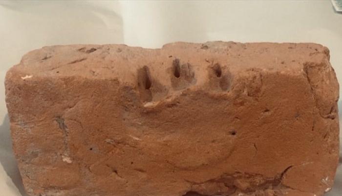 Juvenile Thylacine front left foot, Victoria.